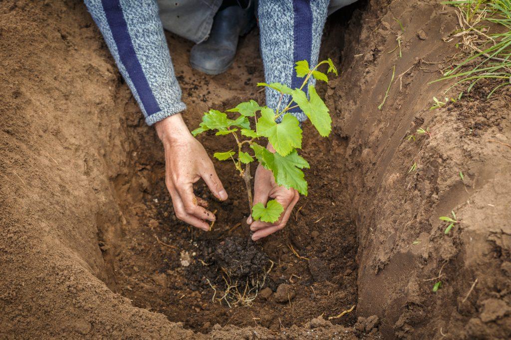 Как правильно произвести пересадку винограда осенью на новое место?