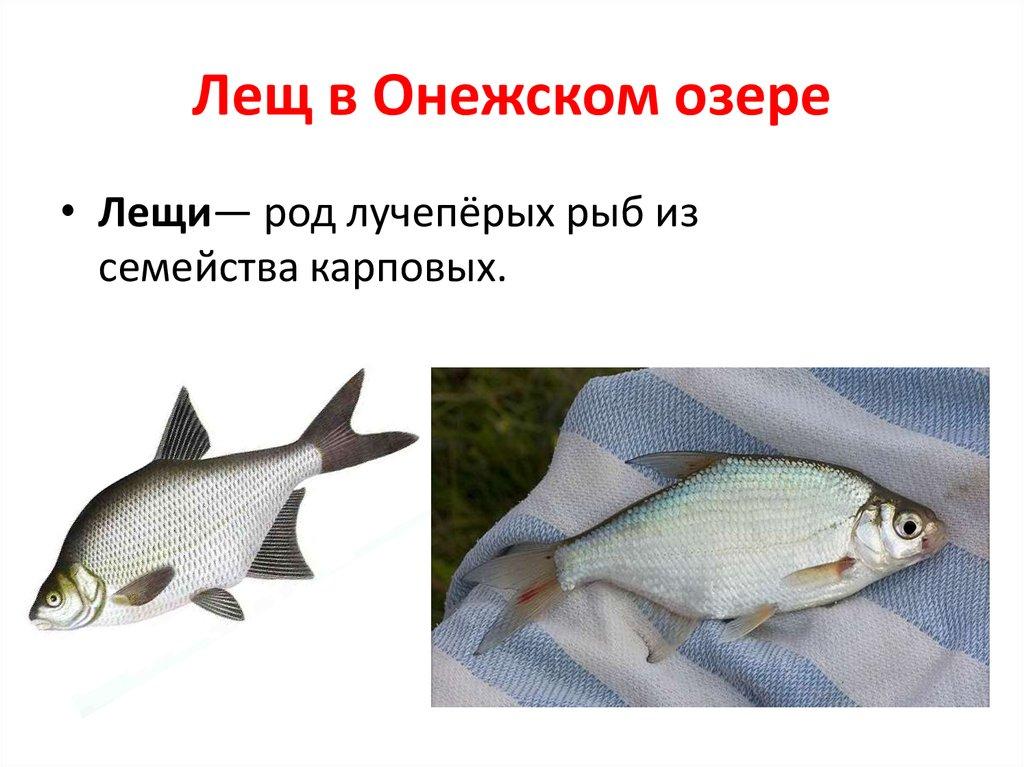 Запретят ловлю Леща в Онежском озере