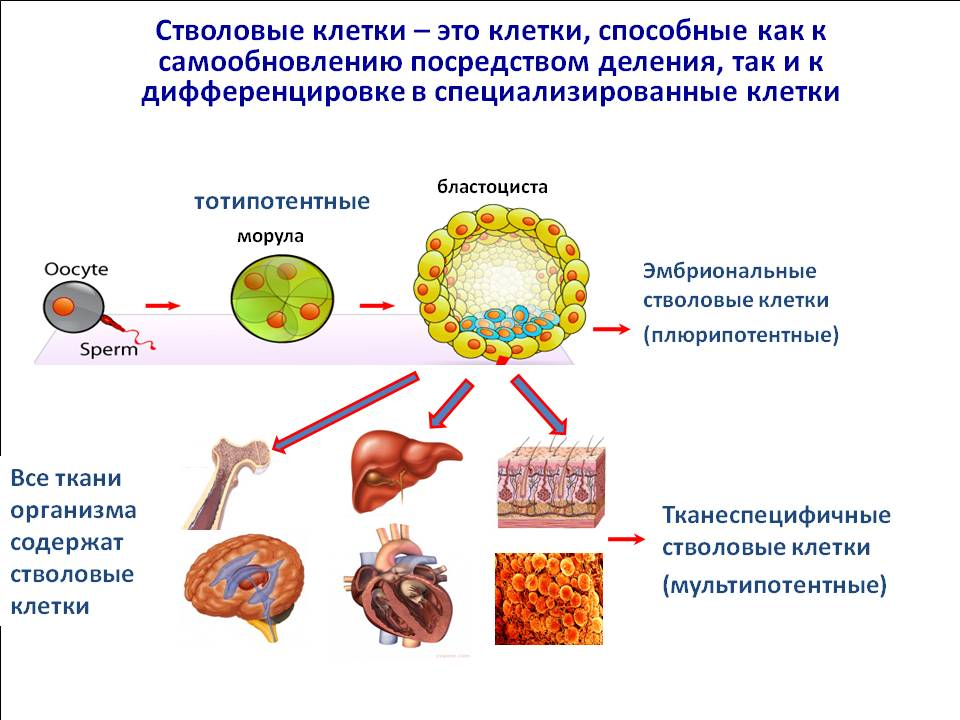 Что такое стволовые клетки и что они делают?